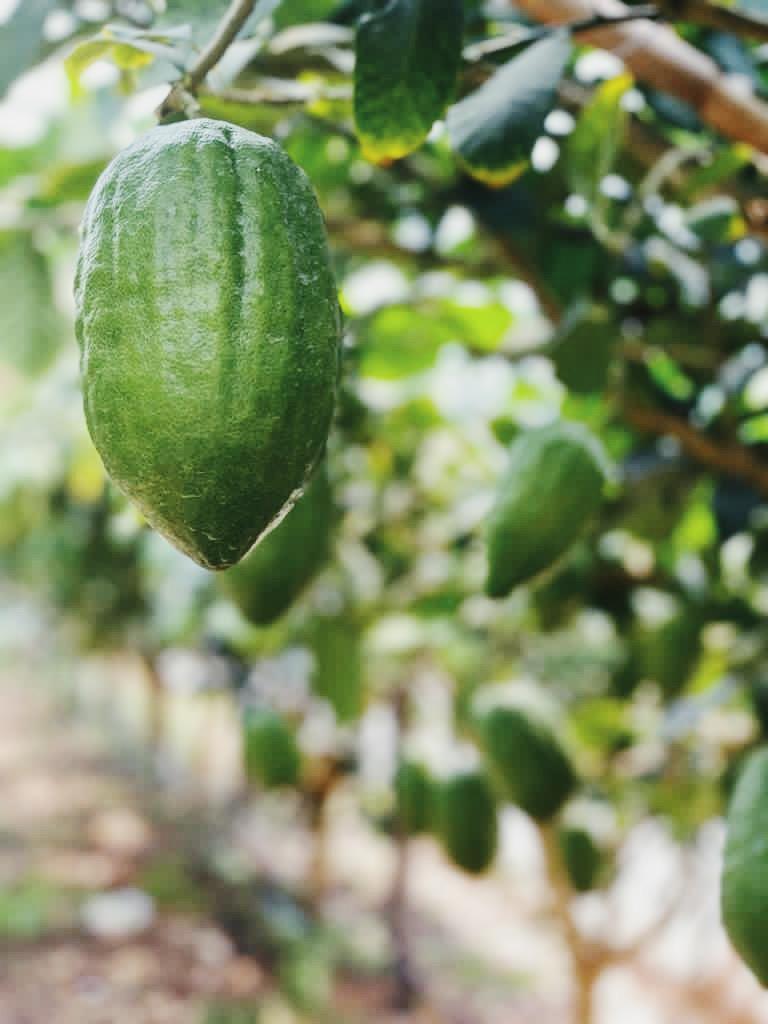 Cedro: Calabria's Eternal Super Fruit