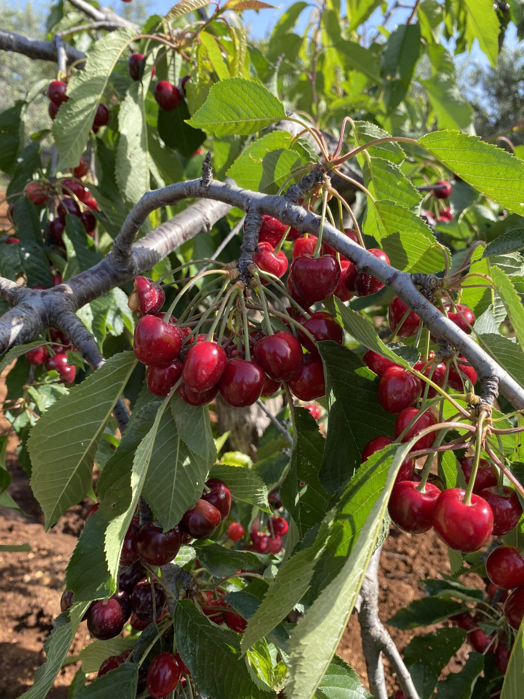 Golden red - This cherry is a real heritage of this strip of Puglia