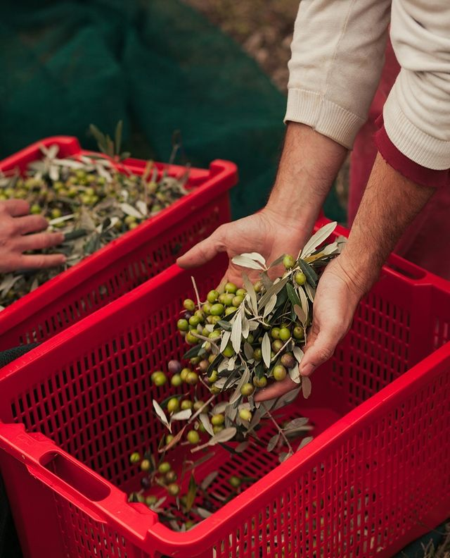 Agricola Maraviglia and its Award-Winner Olive Oil